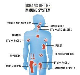 органы которые отвечают за имунную систему организма