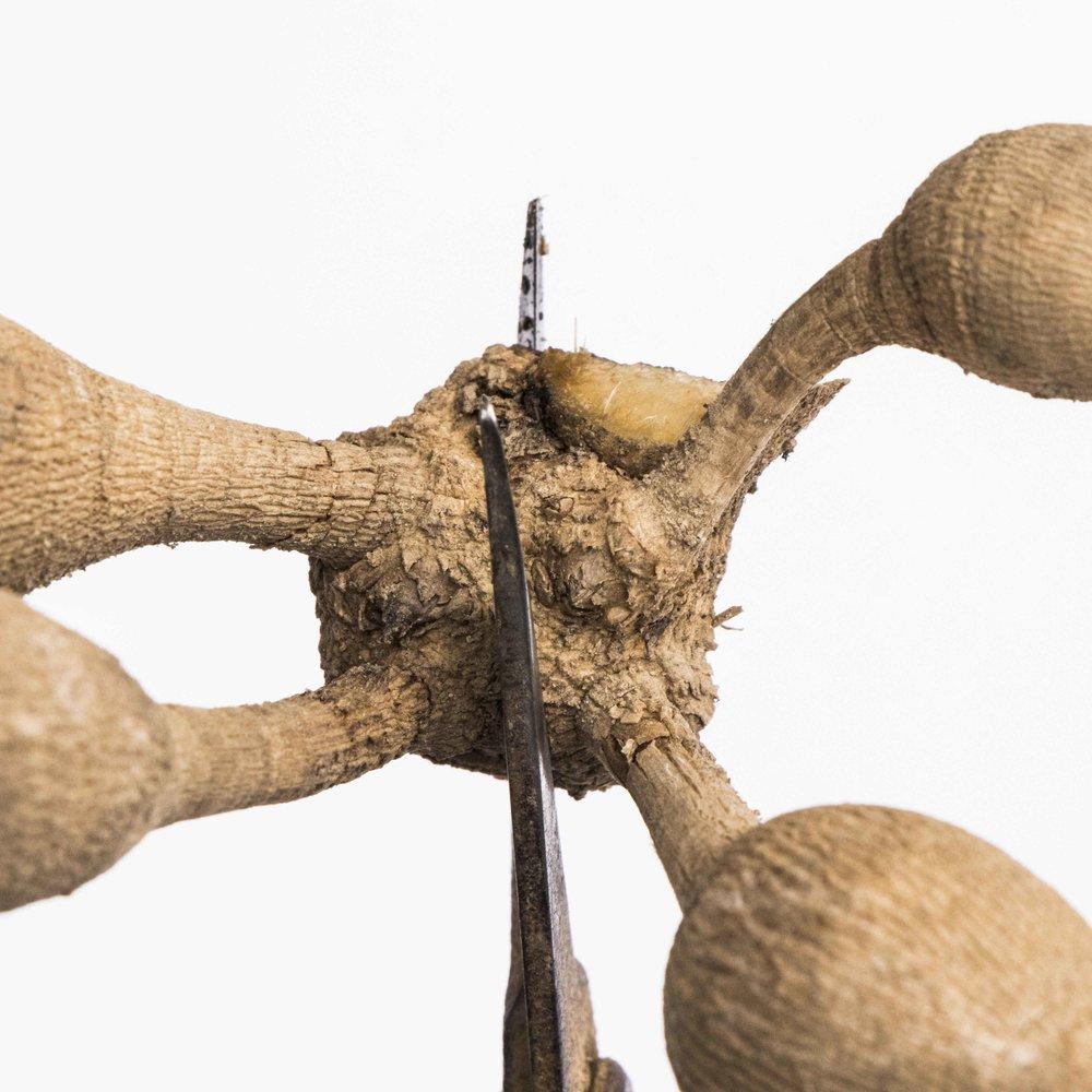 режем корни георгин